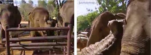 Elephants playing music