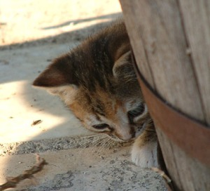 Orange kitten peaking out from behind barrel