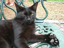 Gray six-toed cat