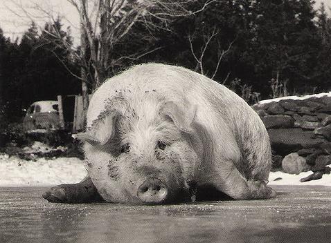 Hog on ice