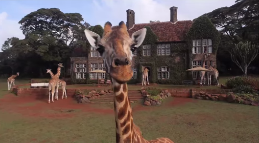 Giraffe Manor, exterior with giraffes poking their heads through windows