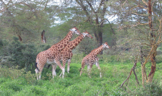 Giraffes at Lake Nakuru National Park, Kenya