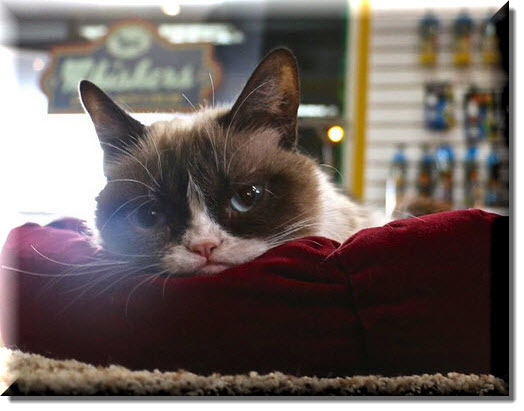 Grumpy Cat on a pillow