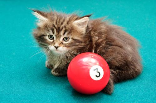 Kitten on pool table