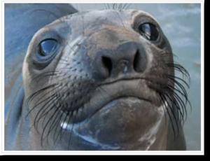 elephant seal headshot
