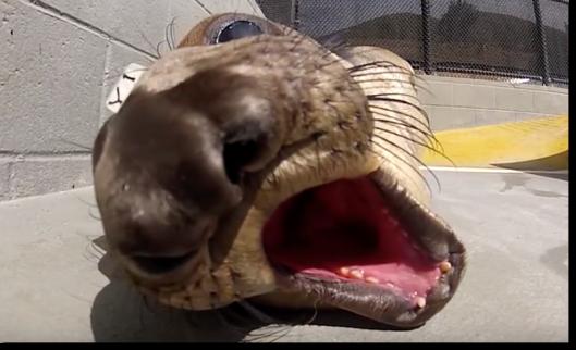 The Marine Mammal Center elephant seal
