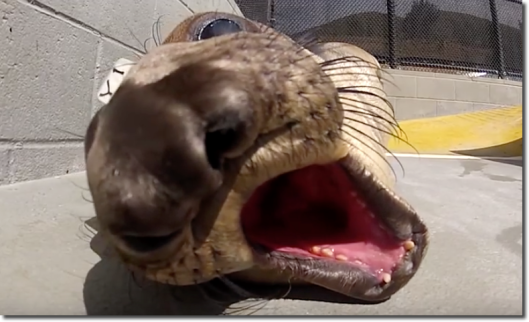 The Marine Mammal Center elephant seal